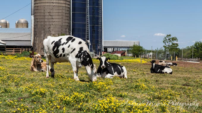 Andrea Meyers - Cows in the pasture at Al-Mara Farm, Midland, Virginia