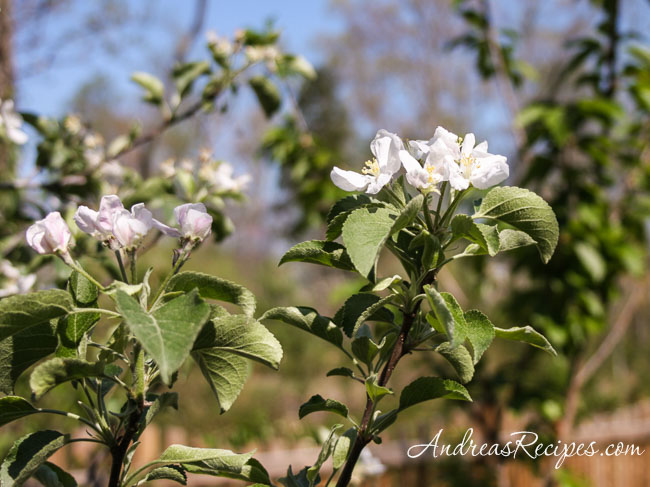 Andrea's Recipes - Apple Blossoms