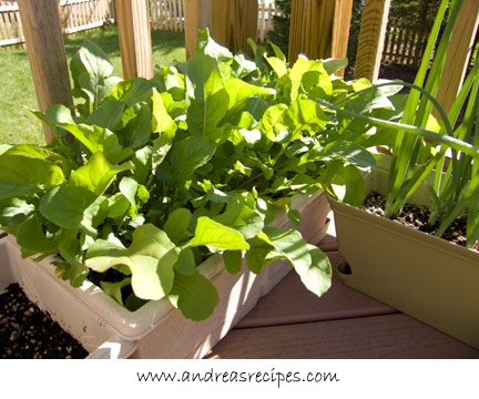 Andrea's Recipes - Arugula in a window box