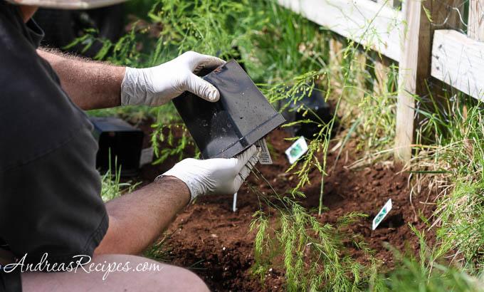 Andrea Meyers - Michael preparing asparagus for planting.
