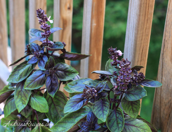 Andrea Meyers - purple basil in our garden