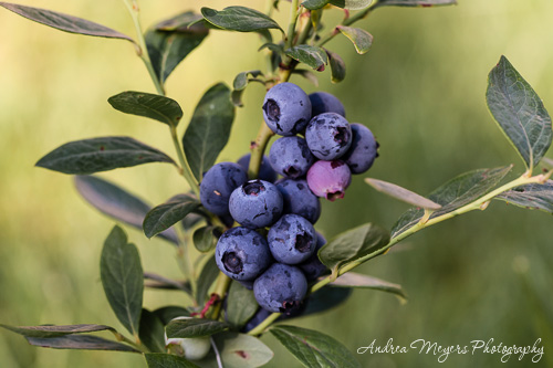 Andrea Meyers - Blueberries in our garden, 2012