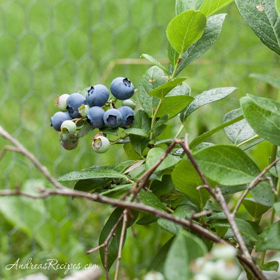 Our backyard blueberries - Andrea Meyers