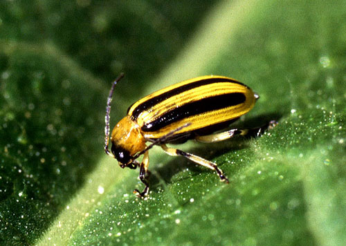 Wikipedia - Cucumber beetle