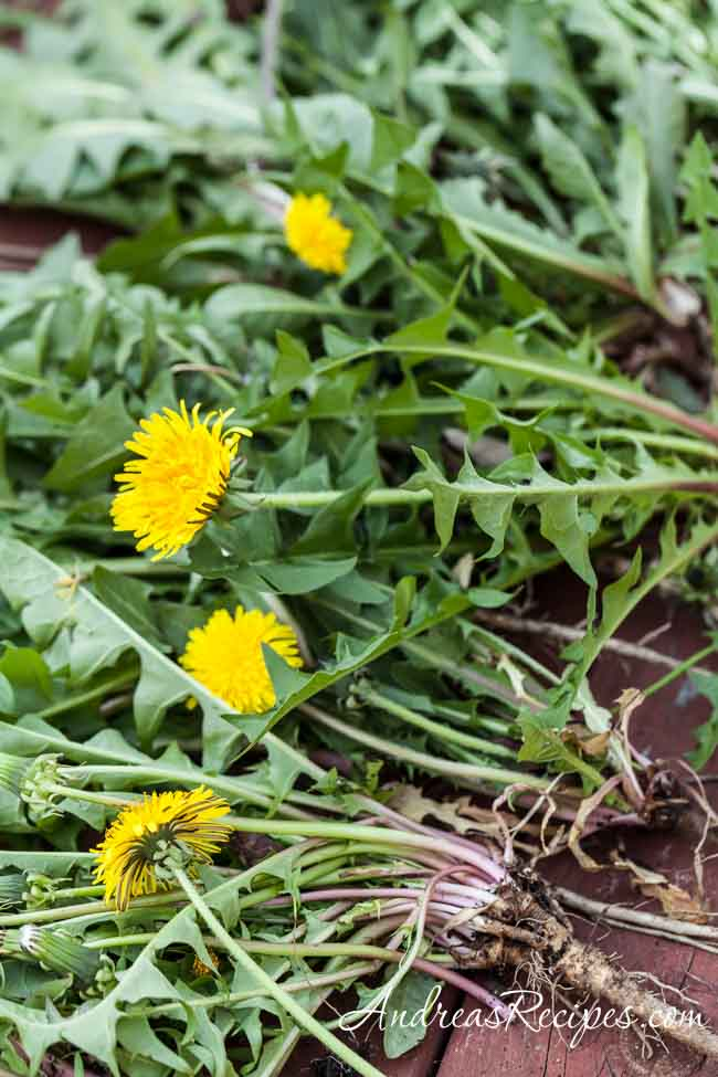 Fresh-picked wild dandelions from our yard - Andrea Meyers