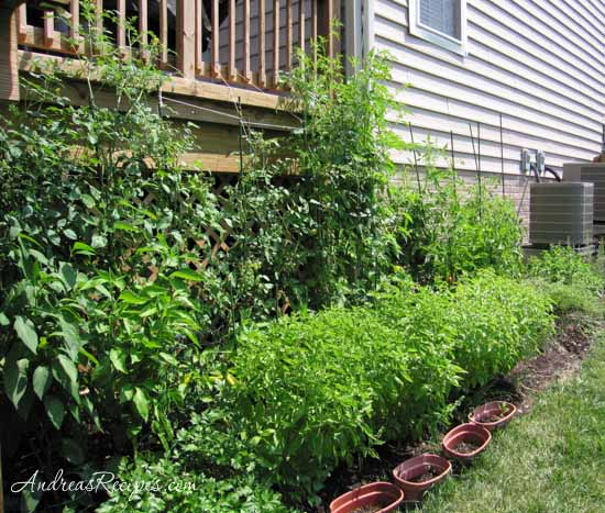 Tomatillo plants in the back row, about nine feet tall - Andrea Meyers