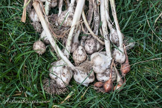 Andrea's Recipes - freshly harvested garlic