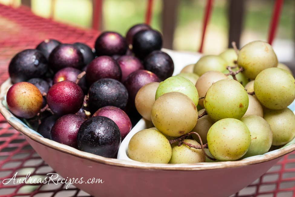 Muscadine and Scuppernog Grapes - Andrea Meyers