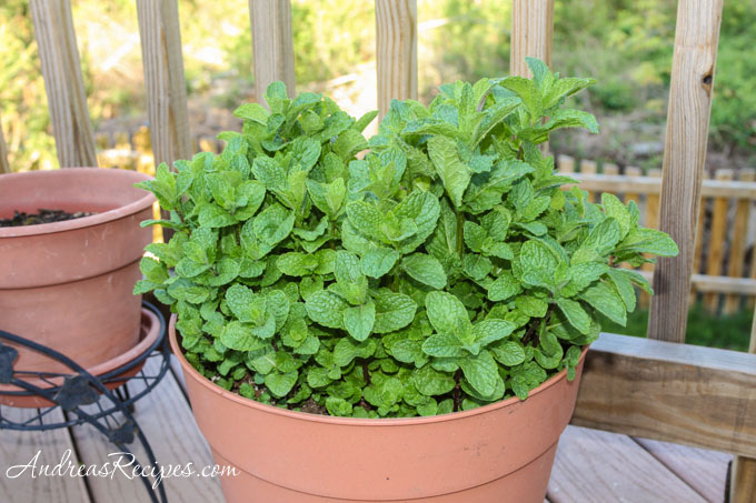 Mint in a pot - Andrea Meyers