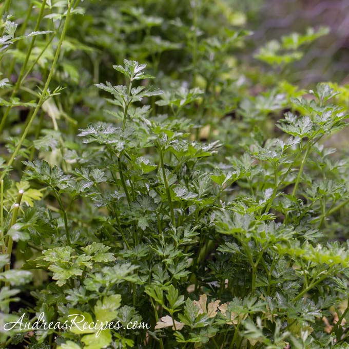 Parsley in our garden - Andrea Meyers