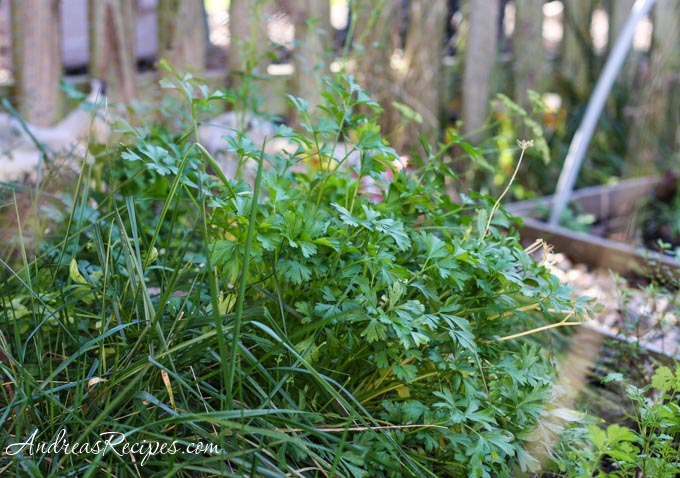 Andrea Meyers - parsley in the herb garden