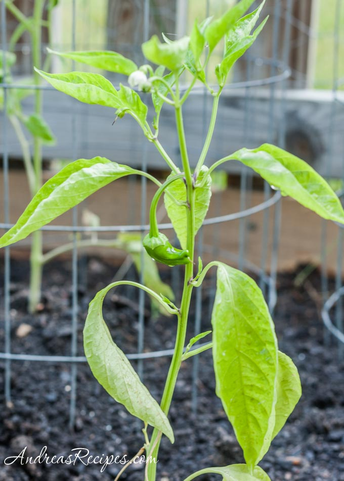 Andrea Meyers - The first padron pepper in our garden, 2011.