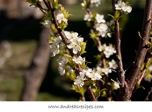 Andrea Meyers - Plum blossoms in our garden