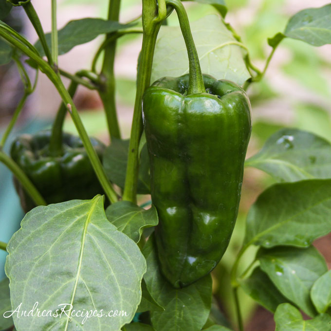 Andrea's Recipes - Poblano pepper