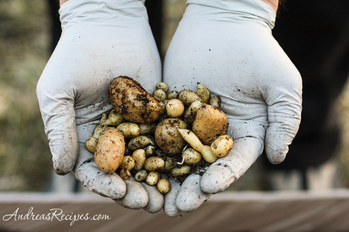 Andrea Meyers - A handful of tiny yellow potatoes.