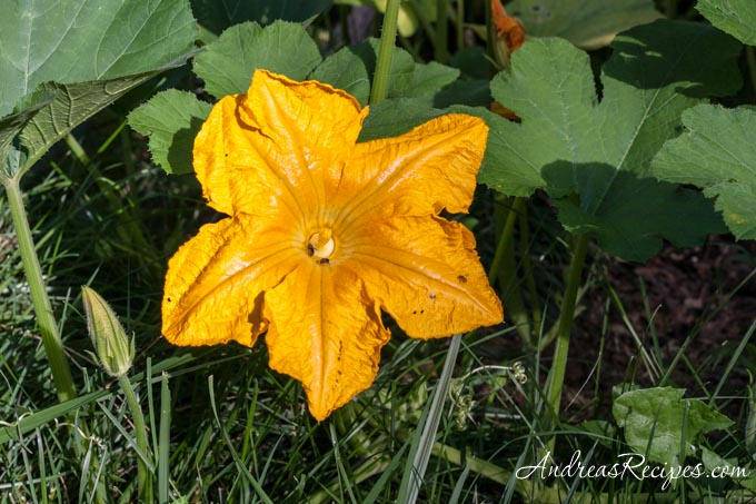 Andrea Meyers - Pumpkin blossom