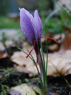 Saffron Crocus (crocus sativus)