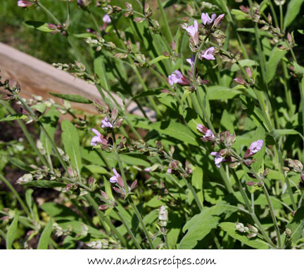 Andrea's Recipes - Sage blossoms