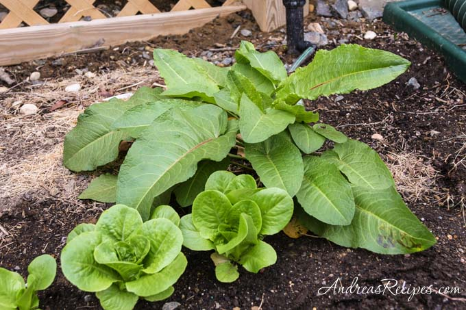 Andrea's Recipes - Tatsoi next to butterhead lettuce