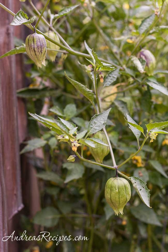 Tomatillos in our garden - Andrea Meyers
