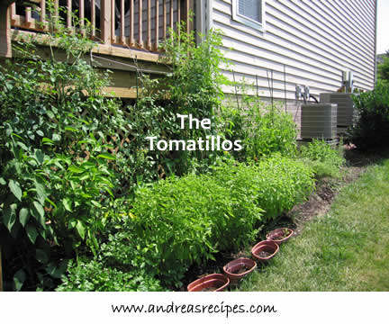 Andrea's Recipes - Tomatillo plants, about nine feet tall