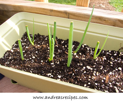 Andrea's Recipes Weekend Gardening Photos - scallions, just six days in the soil