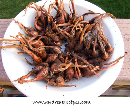 Andrea's Recipes Weekend Gardening Photos - harvested shallots