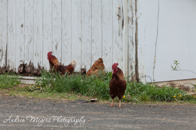 Free-range roosters at Whiffletree Farm - Andrea Meyers