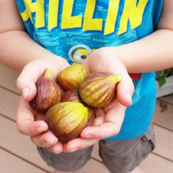First back yard figs of the season Many more onhellip