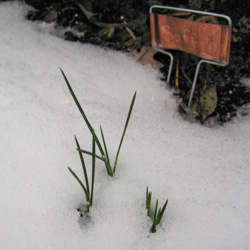 Saffron Growing in the Snow - Andrea Meyers