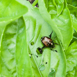 Japanese Beetle on Basil - Andrea Meyers