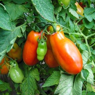 San Marzano Tomatoes - Andrea Meyers