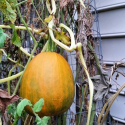 A volunteer pumpkin growing in a tomato cage growyourown