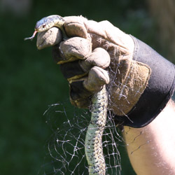 Garden Snake Tangled in Net - Andrea Meyers