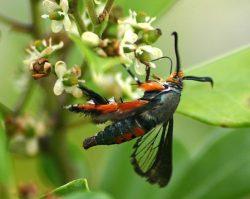 Squash Vine Borer, Hawk Moth