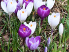 Andrea Meyers - Crocuses