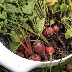 Harvesting Radishes - Andrea Meyers