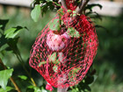 Andrea Meyers - Plums protected in a mesh bag