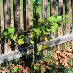 Planting Grapes in Our Garden (Muscadine Grapes) - Andrea Meyers