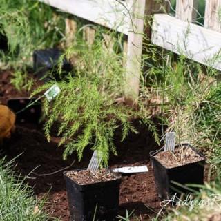 Weekend Gardening: Starting an Asparagus Bed