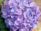 Mom's Hydrangeas - Andrea Meyers
