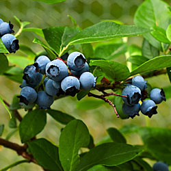 Weekend Gardening: Blueberry Harvest