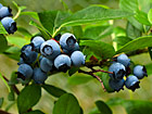 Andrea Meyers - Ripe blueberries