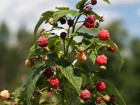 Andrea Meyers - Wegmeyer Farms, raspberries