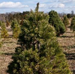 Andrea Meyers - Ticonderoga Farms Christmas Trees thumbnail
