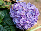 Andrea Meyers - Hydrangea in Mom's Garden