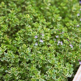 Plant a Perennial Herbs Garden