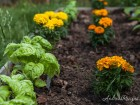 Marigolds and Basil - Andrea Meyers