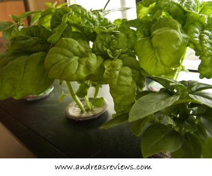 AeroGarden basil, 31 days after planting