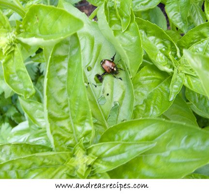 Andrea Meyers - Basil with a Japanese beetle